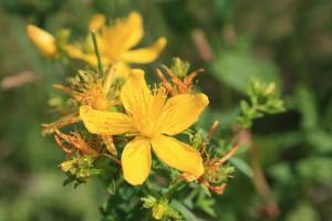 Ten drobny kwiatek pomaga leczyć rany.