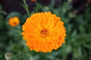 Do celów leczniczych nadają się tylko rośliny o pomarańczowych kwiatach