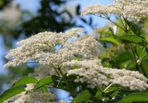 Z tych kwiatów powstanie pyszny i kojący objawy grypy syrop.